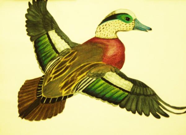 wild-duck-jamey-lee--balester-lopez