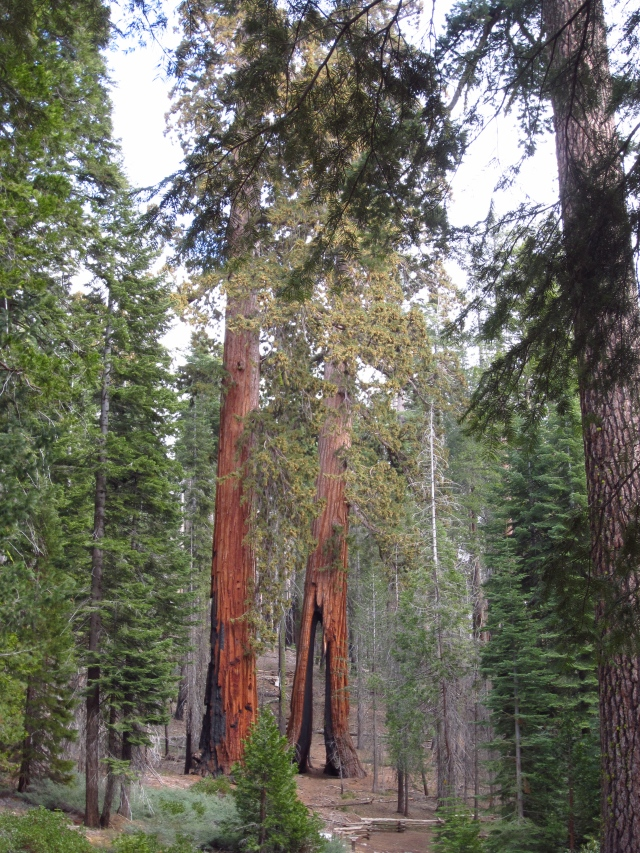 The Clothespin Tree in Mariposa Grove of Giant Sequoias.